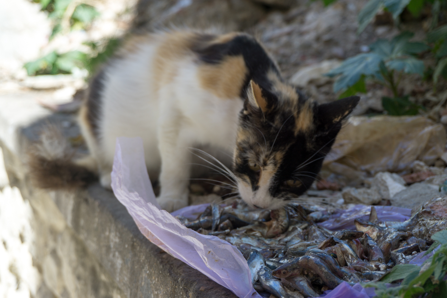 Many Moroccans leave leftover food out for the cats to eat.
