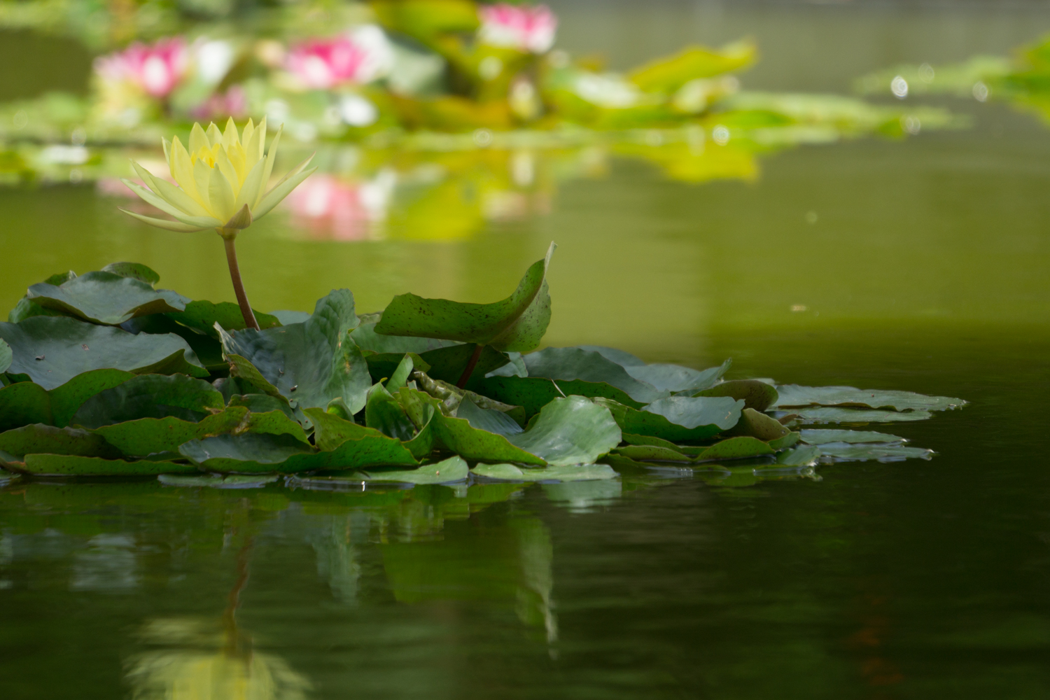 A lily pad flowering