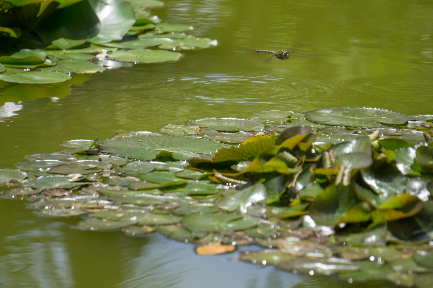 A dragonfly poking around for something to do in a pond